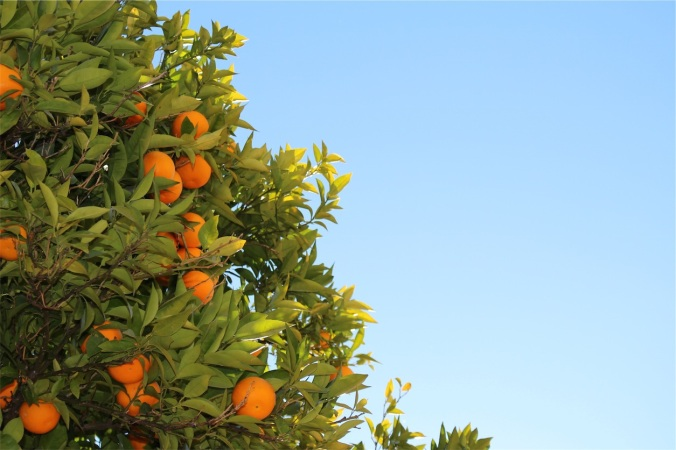 Orange tree whose fruite is ready to harvest - looks like feast